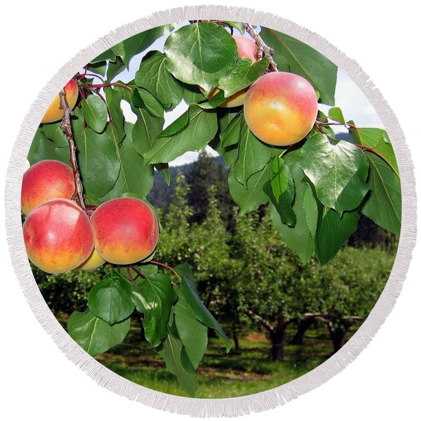 Apricots Round Beach Towel featuring the digital art Okanagan Apricots by Will Borden