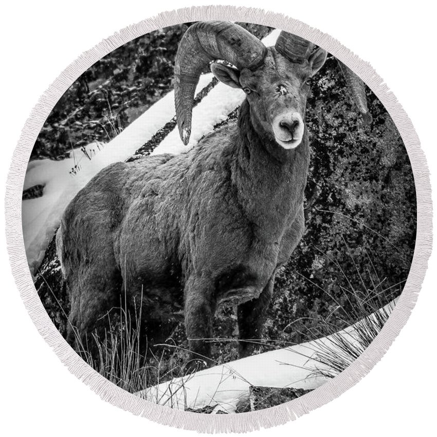 Bighorn Ram Round Beach Towel featuring the photograph Old Ram in the Snow by Jason Brooks