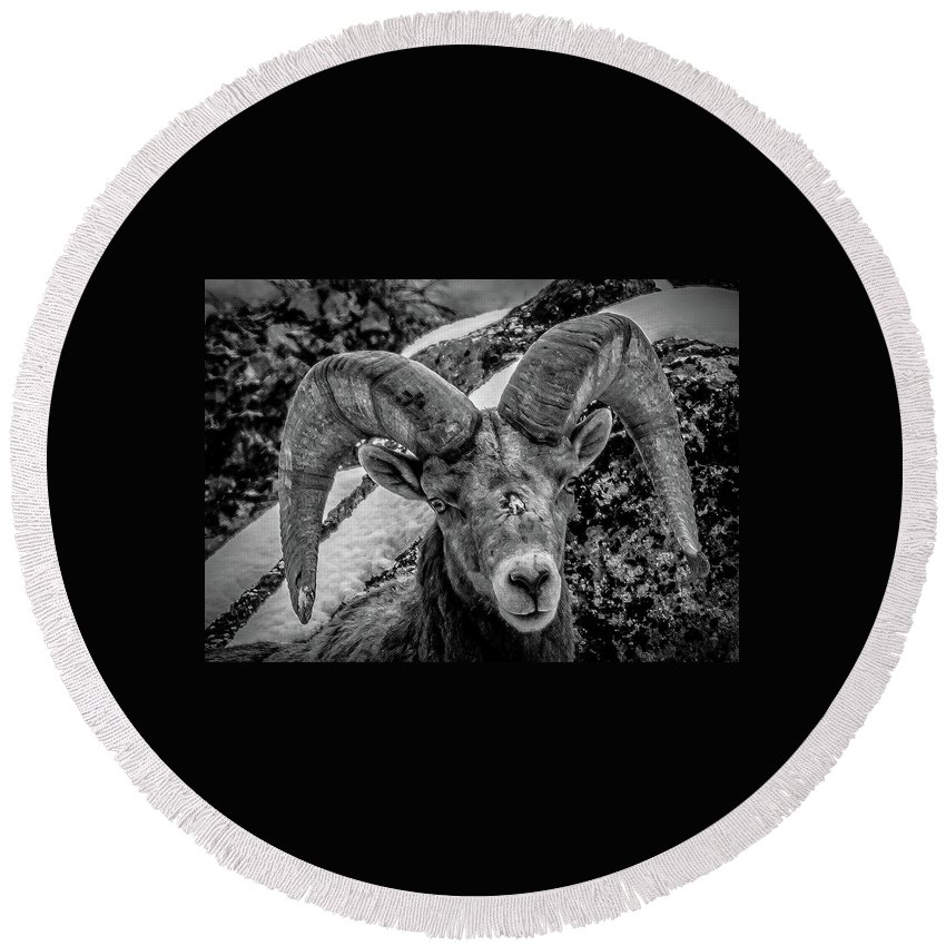 Wild Sheep Round Beach Towel featuring the photograph Old Ram by Jason Brooks