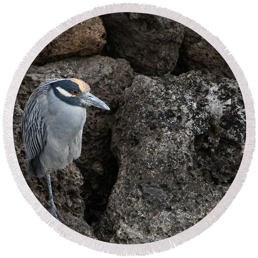 Heron Round Beach Towel featuring the photograph On The Rocks - Yellow-crowned Night Heron by Mitch Spence