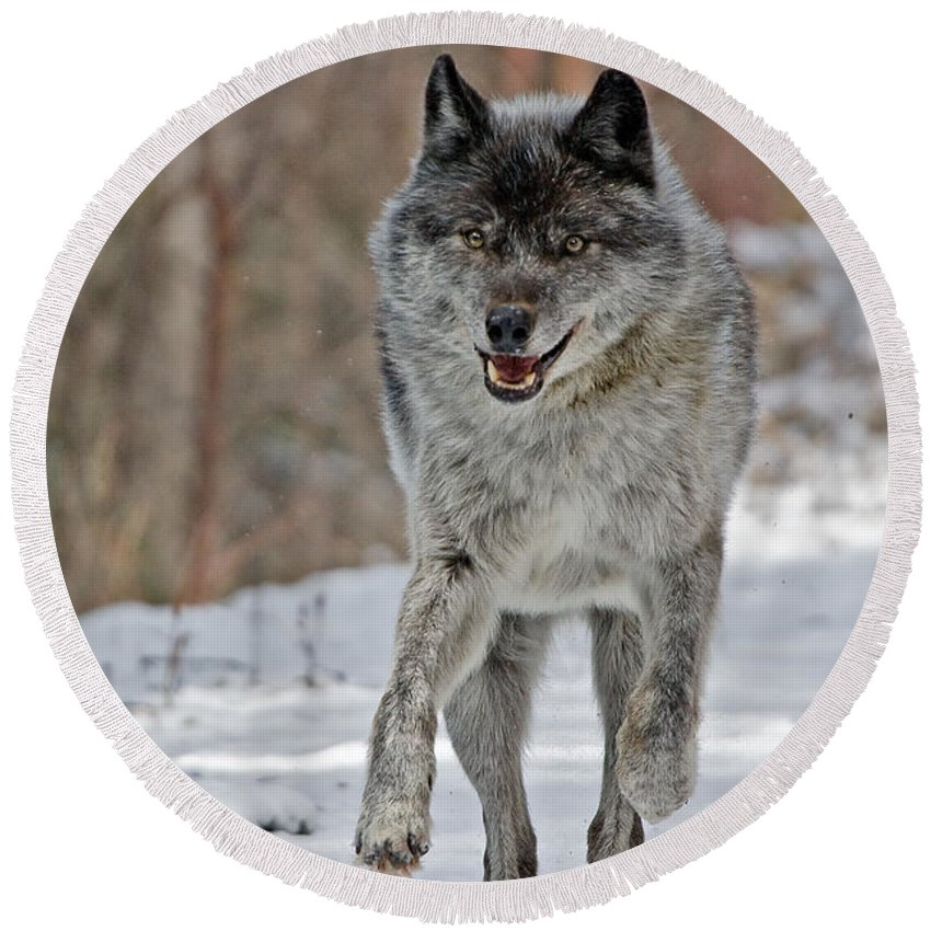 Wolf Round Beach Towel featuring the photograph On The Run by Colette Panaioti