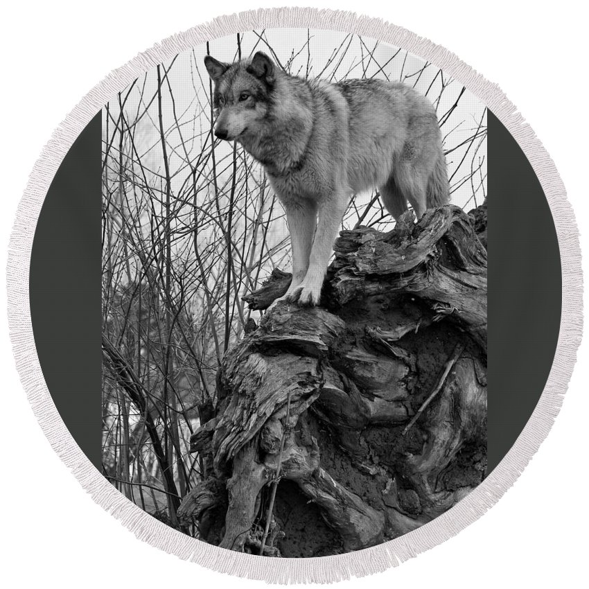 Black White Wolf Wolves Animal Wildlife Mammal Photography Photograph Canis Lupis Grey Timberwolf Round Beach Towel featuring the photograph On Top by Shari Jardina