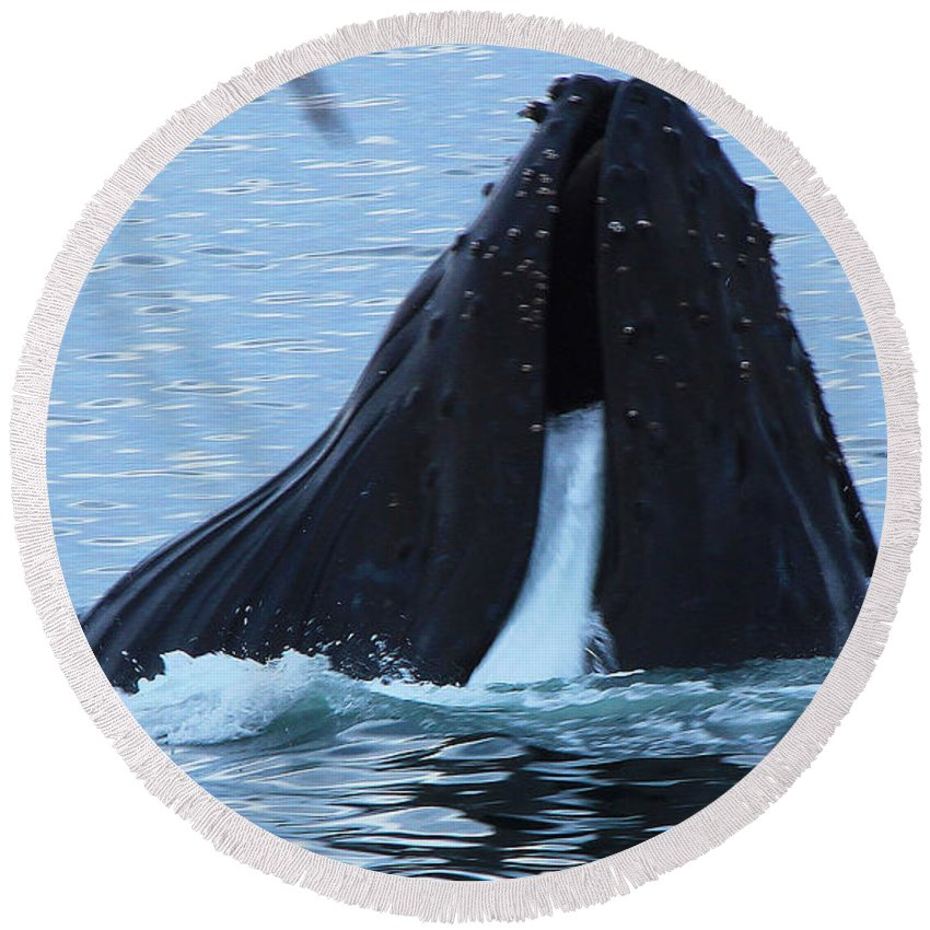 Whale Round Beach Towel featuring the photograph One Big Gulp by Kris Hiemstra