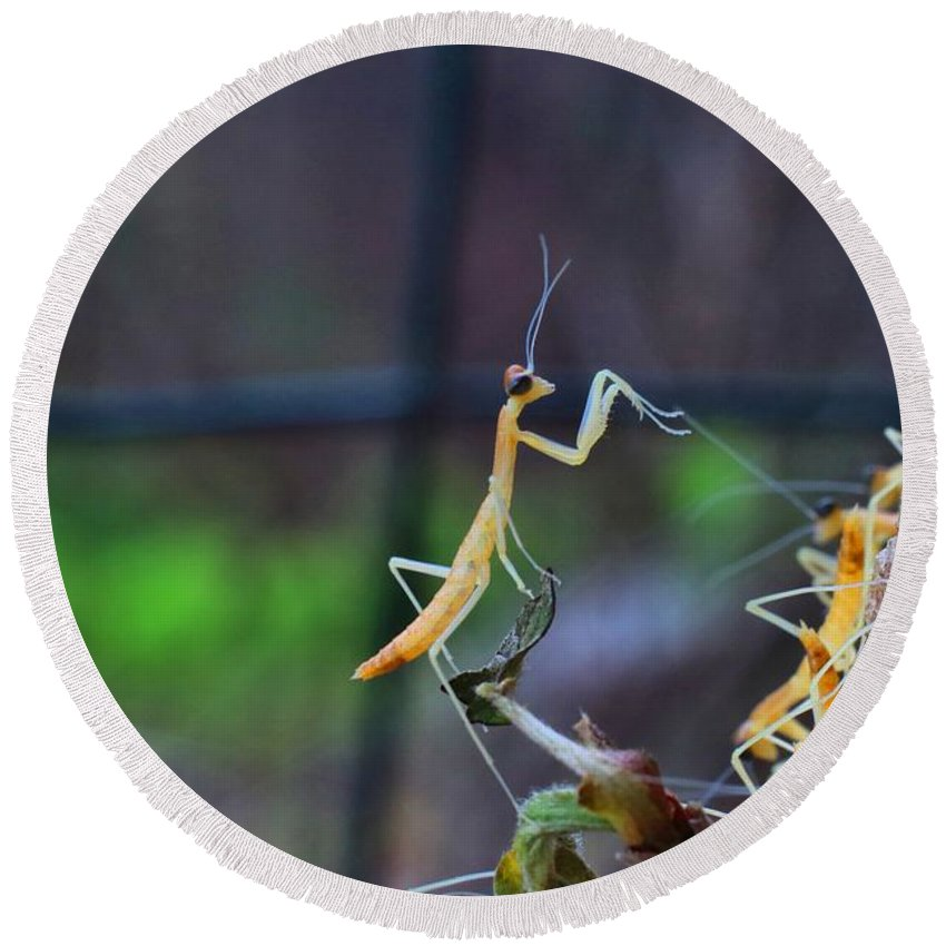 Praying Mantises Round Beach Towel featuring the photograph One In The Crowd by Kathryn Meyer