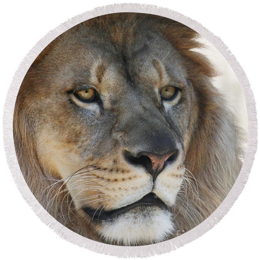 Lion Round Beach Towel featuring the photograph Onyo #3 by Judy Whitton