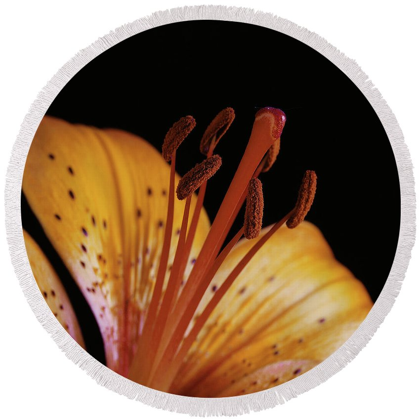 Daylily Round Beach Towel featuring the photograph Orange Day Lilly On Black by Michael Peychich