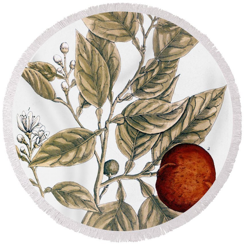 1730s Round Beach Towel featuring the photograph Orange Tree, 1735 by Granger