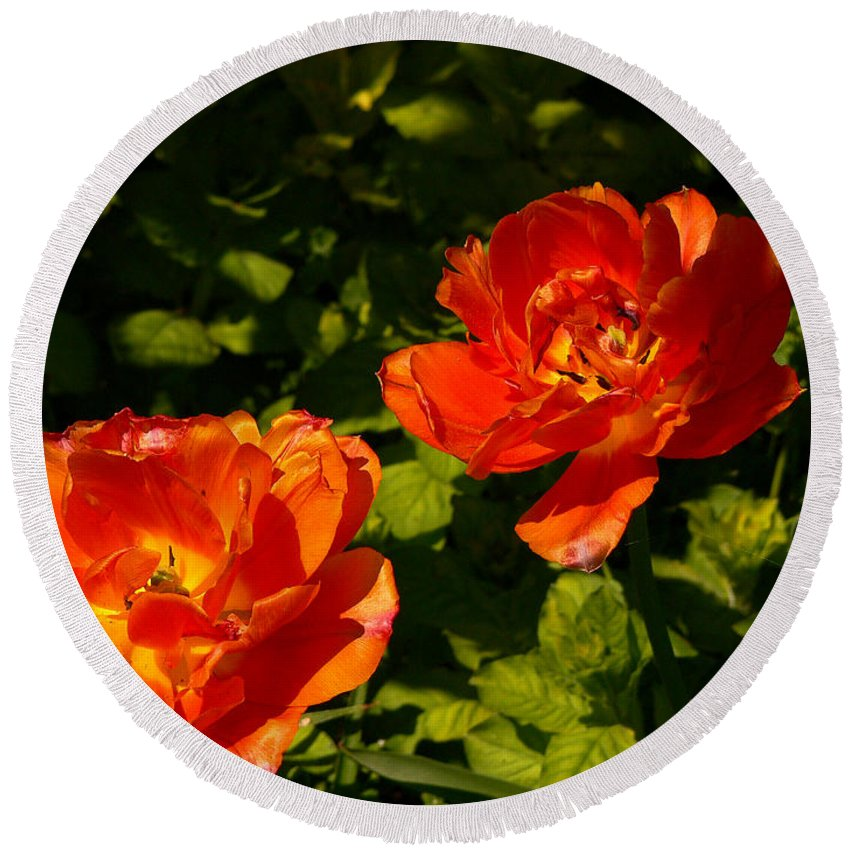 'orange Tulips' Round Beach Towel featuring the photograph Orange Tulips In My Garden by Helmut Rottler