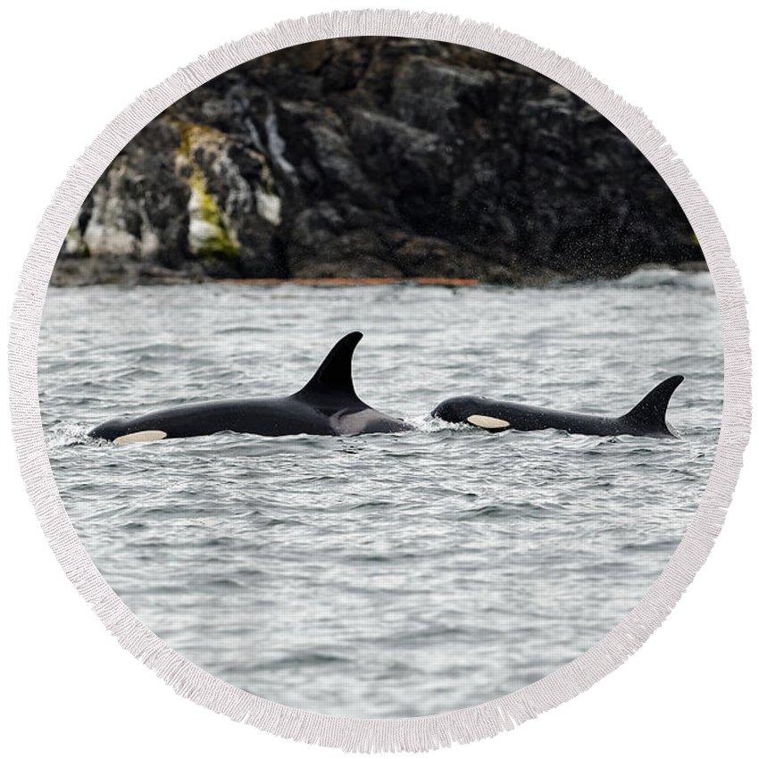 Orcas Round Beach Towel featuring the photograph Orcas In The Salish Sea by Matt Ferguson - ferglandfoto