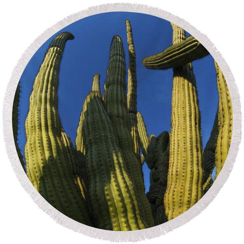 Cactus Round Beach Towel featuring the photograph Organ Pipe Cactus Arizona by Bob Christopher