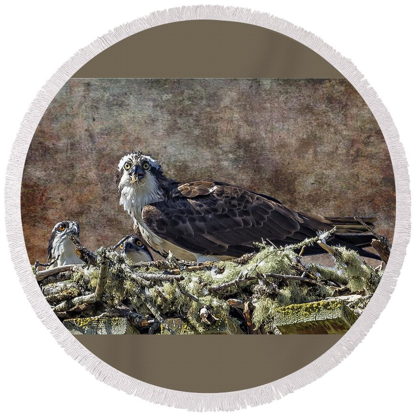 Osprey Round Beach Towel featuring the photograph Osprey And Young - Feeding by Belinda Greb