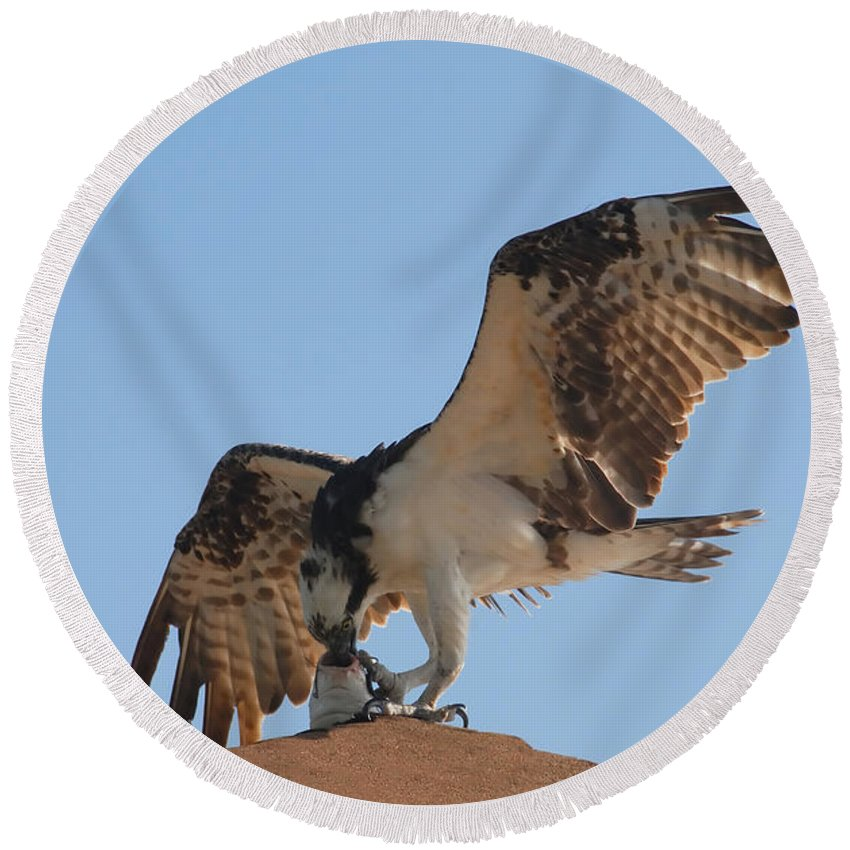 Osprey Round Beach Towel featuring the photograph Osprey by David Lee Thompson