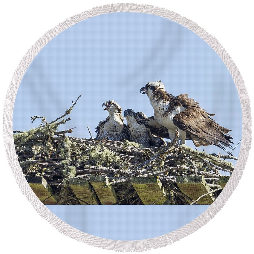 Osprey Round Beach Towel featuring the photograph Osprey Family Portrait No. 2 by Belinda Greb