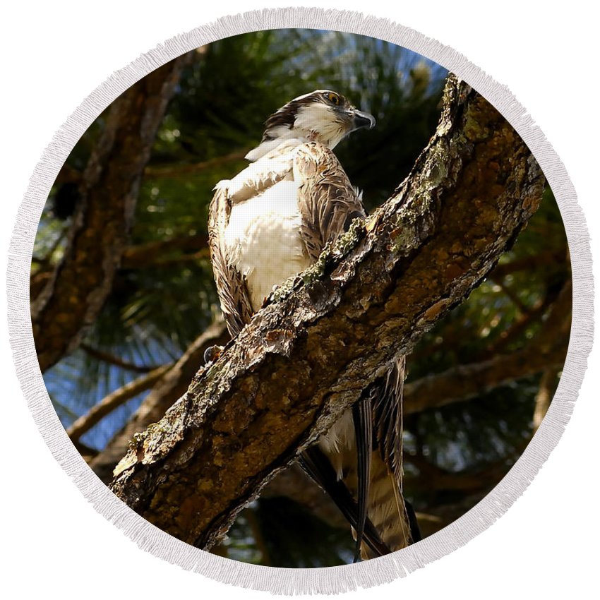 Osprey Round Beach Towel featuring the photograph Osprey Hunting by David Lee Thompson