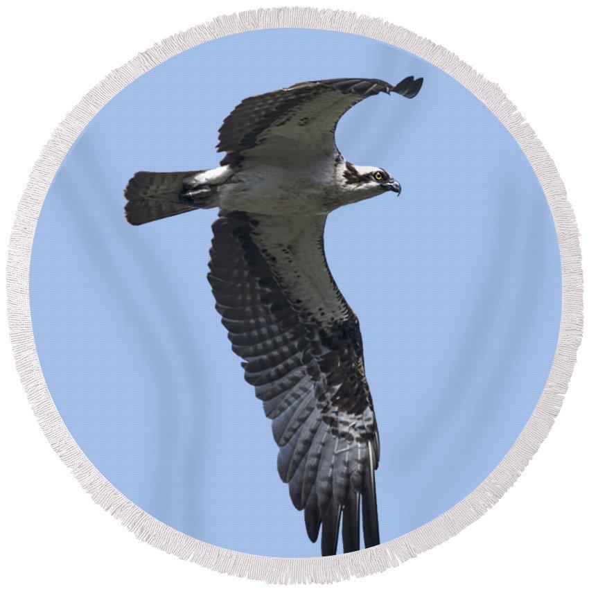 Osprey In Flight Round Beach Towel featuring the photograph Osprey In Flight 2 by Priscilla Burgers