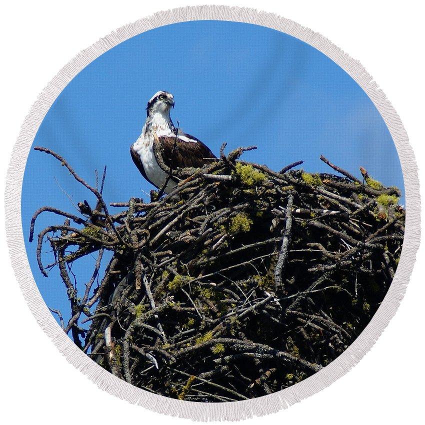 Birds Round Beach Towel featuring the photograph Osprey In Nest by Ben Upham III