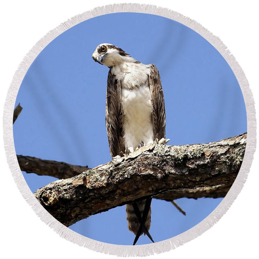 Osprey Round Beach Towel featuring the photograph Osprey In The Trees by David Lee Thompson