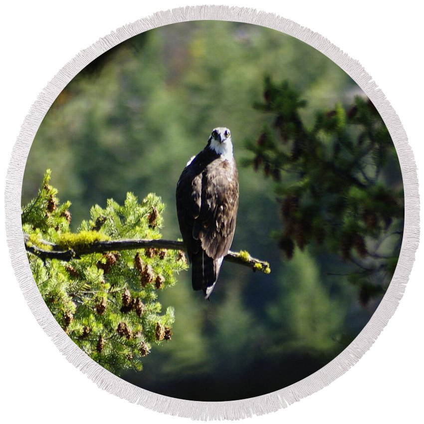 Spokane Round Beach Towel featuring the photograph Osprey On Branch by Ben Upham III
