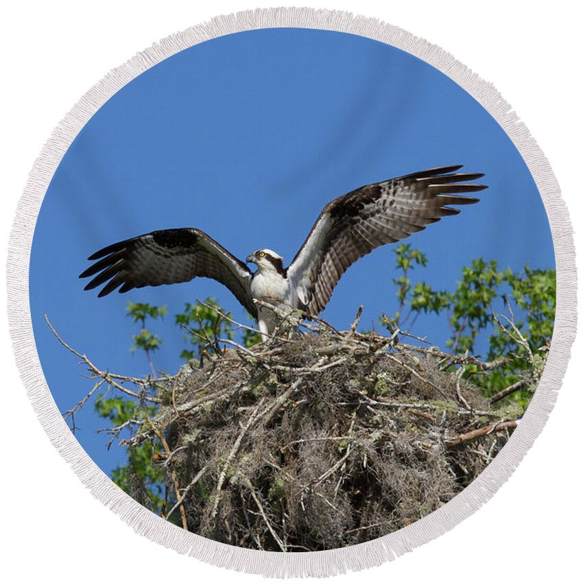 Osprey Round Beach Towel featuring the photograph Osprey On Nest Wings Held High by Paul Rebmann