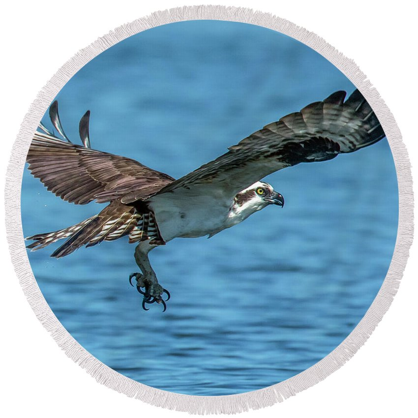 Osprey Round Beach Towel featuring the photograph Osprey Ready For Fish by KenDidIt Photography
