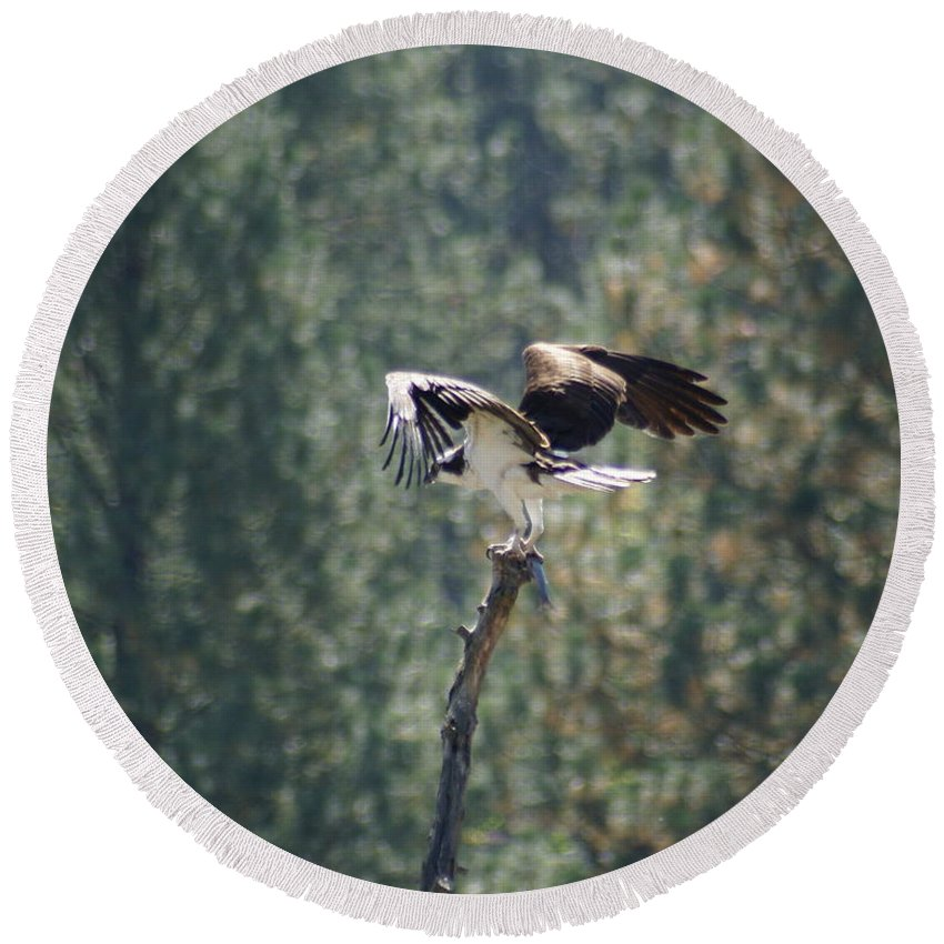 Birds Round Beach Towel featuring the photograph Osprey With Fish by Ben Upham III