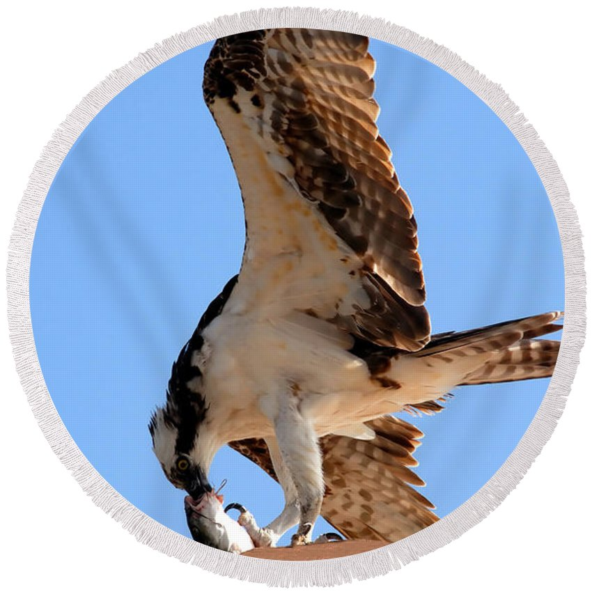 Osprey Round Beach Towel featuring the photograph Osprey's Catch by David Lee Thompson
