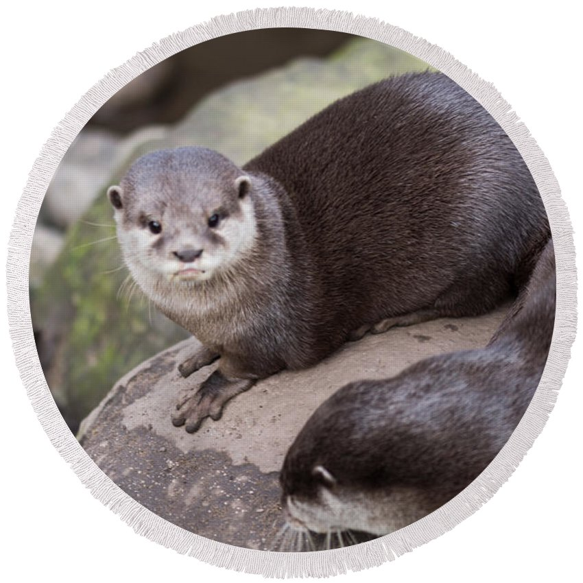 Otter Round Beach Towel featuring the photograph Otters In Arms by Kevin Williams