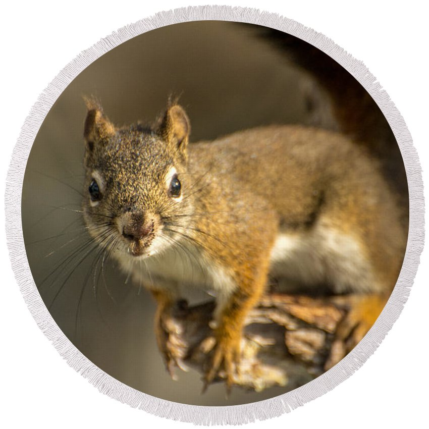 Squirrel Round Beach Towel featuring the photograph Out On A Limb by Constance Puttkemery