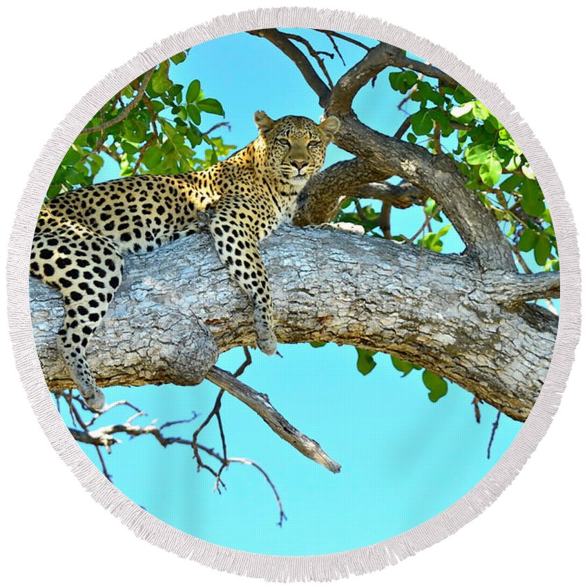 Leopard Round Beach Towel featuring the photograph Out On A Limb by Don Mercer