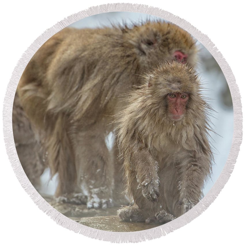 Snow Monkeys Round Beach Towel featuring the photograph Out We Come by Leigh Lofgren