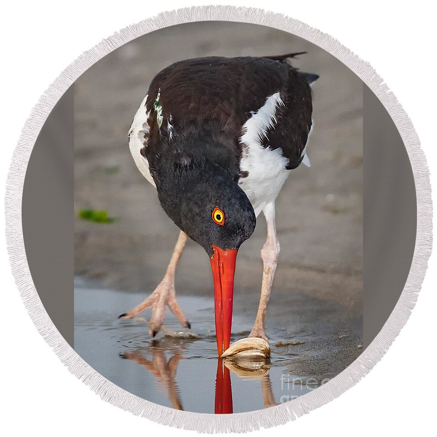 American Round Beach Towel featuring the photograph Oystercatcher Eating Clam by Jerry Fornarotto