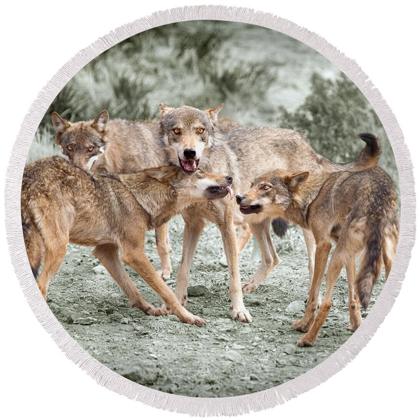 Wolf Round Beach Towel featuring the photograph Pack Dispute by Mal Bray