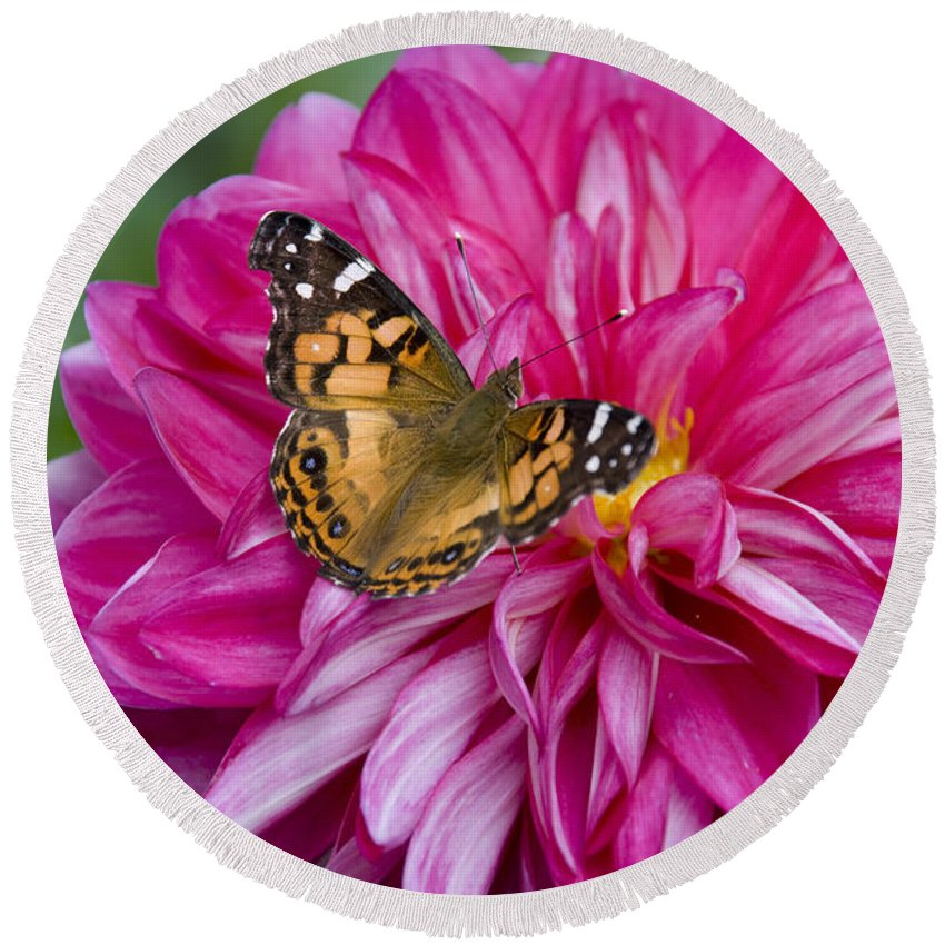 Painted Lady Round Beach Towel featuring the photograph Painted Lady On Dahlia by Charles Harden