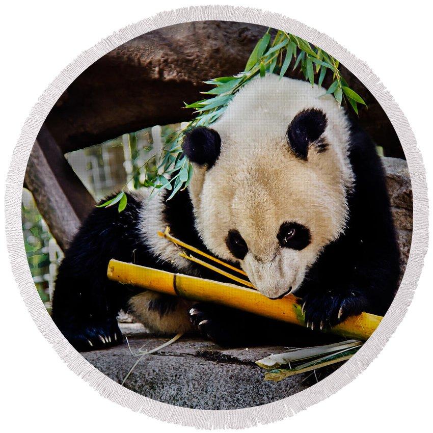 Animals Round Beach Towel featuring the photograph Panda Bear by Robert Bales