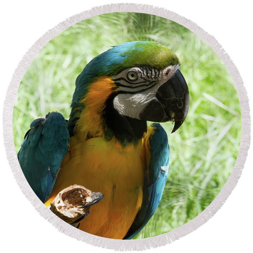 Parrot Round Beach Towel featuring the photograph Parrot Eating Nut by Josephine Cleopahrt