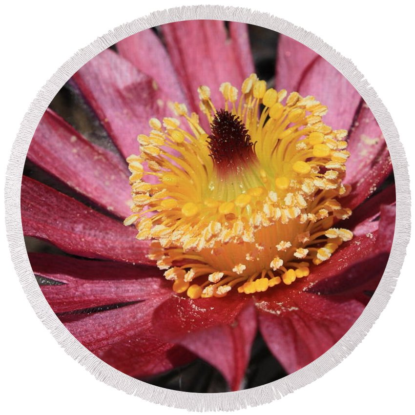 Pasque Flower Round Beach Towel featuring the photograph Pasque Flower Macro by Carol Groenen