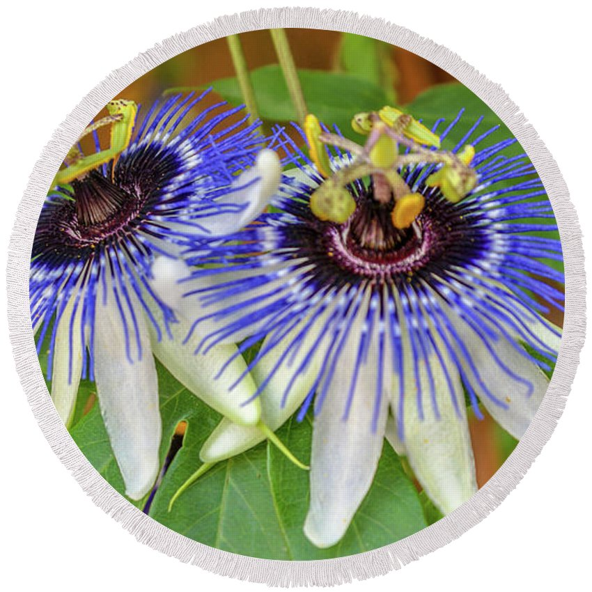 Passion Flower Round Beach Towel featuring the photograph Passion Flower Power by Kristofer M Johnson