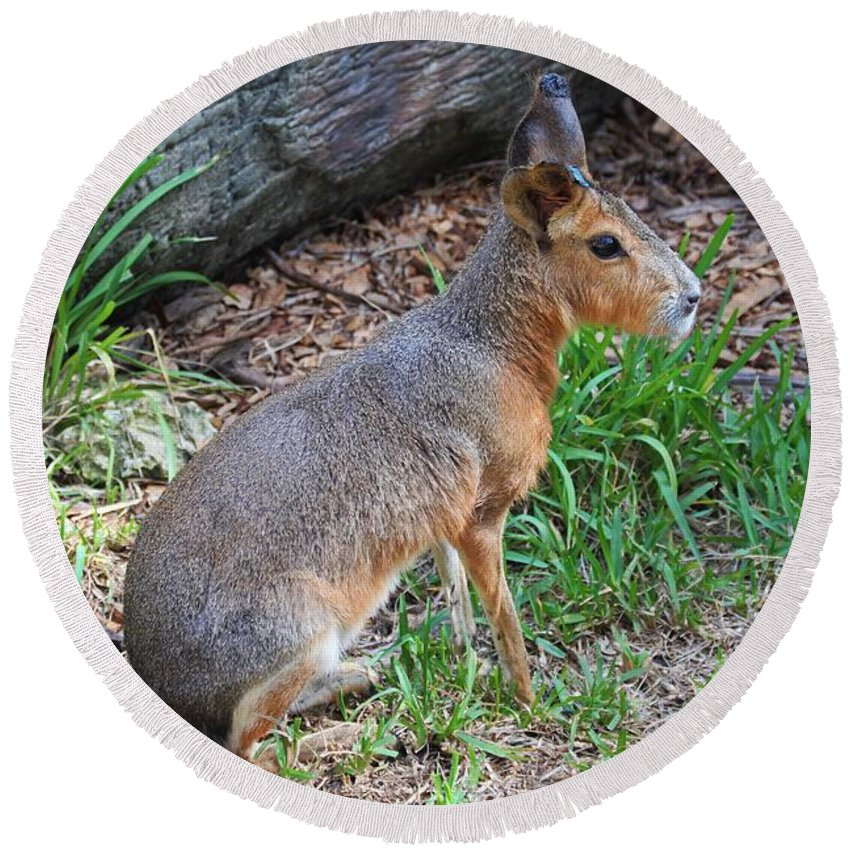 Patagonian Cavy Round Beach Towel featuring the photograph Patagonian Cavy IIi by Michiale Schneider