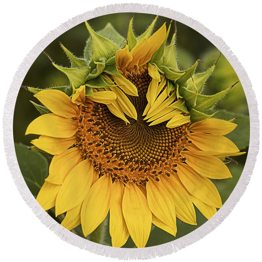 Sunflower Round Beach Towel featuring the photograph Peek-a-boo by Linda D Lester