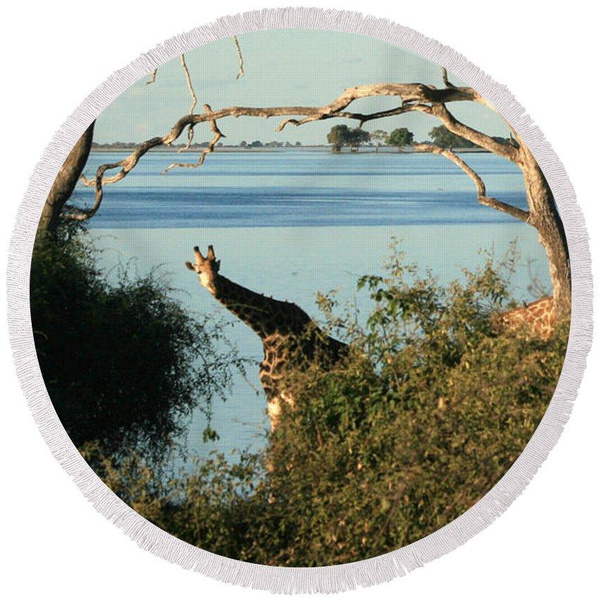 Karen Zuk Rosenblatt Art And Photography Round Beach Towel featuring the photograph Peekaboo Giraffe by Karen Zuk Rosenblatt