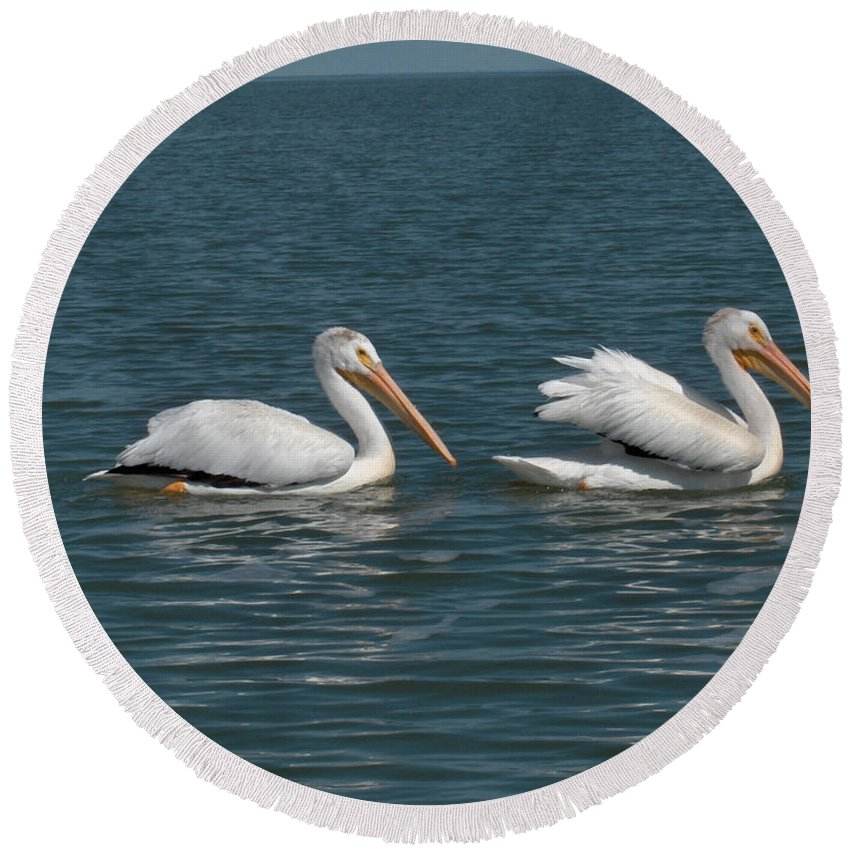 Wild Animals Birds Nature Lake Water Pelicans Round Beach Towel featuring the photograph Pelicans by Andrea Lawrence