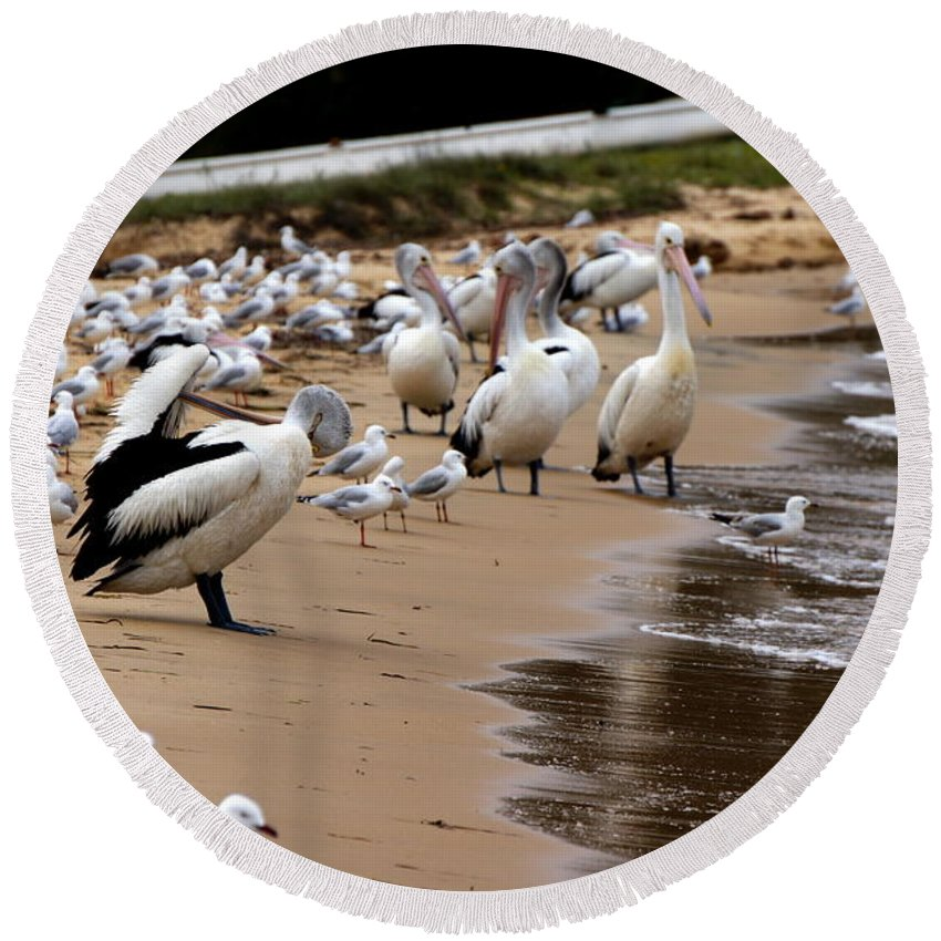 Australia Round Beach Towel featuring the photograph Pelicans At Pearl Beach 1.0 by Giro Tavitian