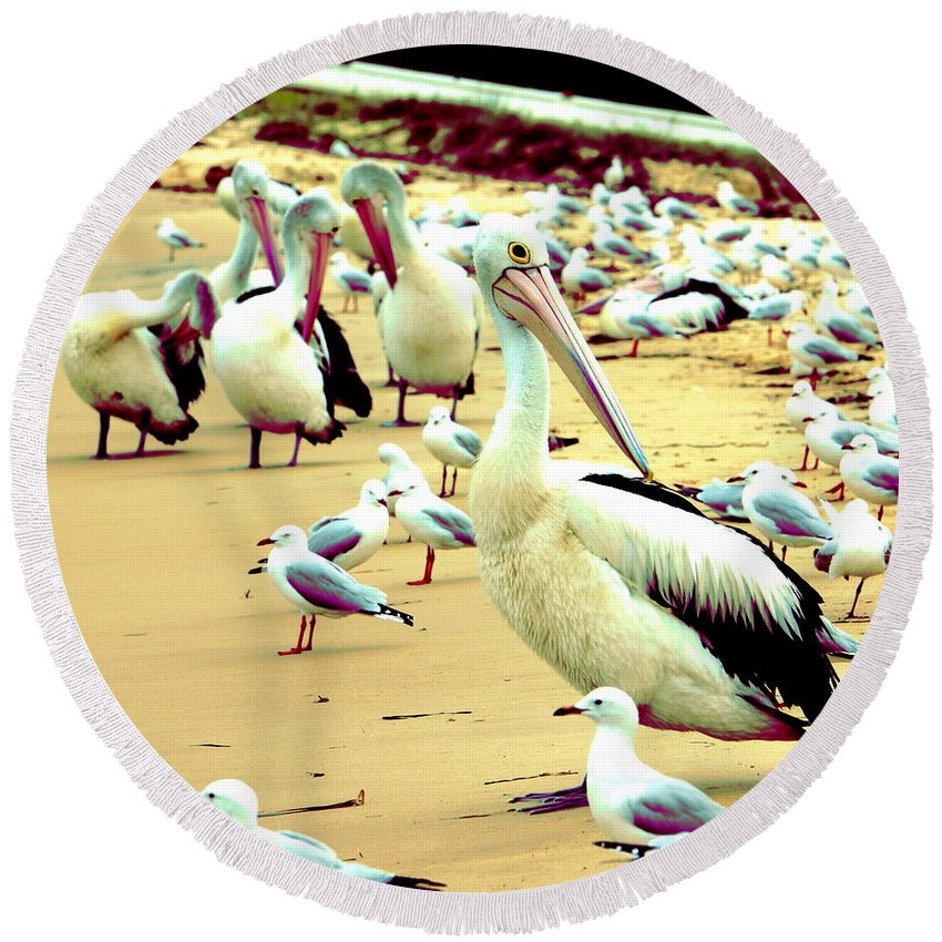 Australia Round Beach Towel featuring the photograph Pelicans At Pearl Beach 4.1 by Giro Tavitian