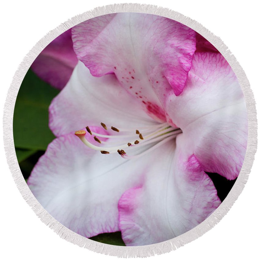 Flowers Round Beach Towel featuring the photograph Peppermint Rhodie by Steven Clark