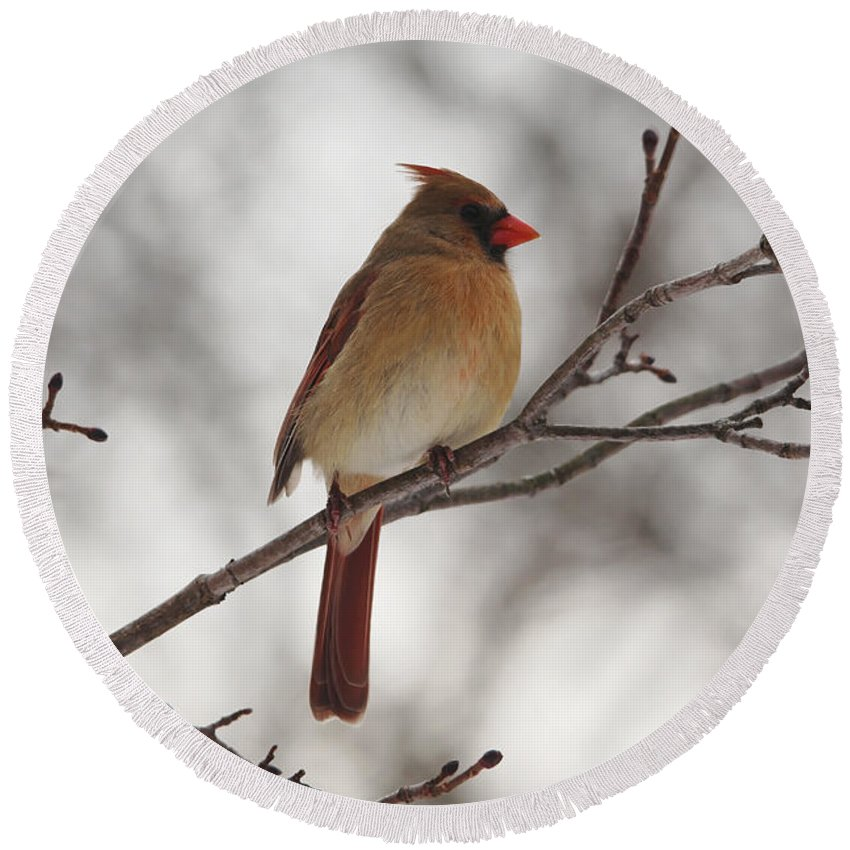 Northern Red Cardinal Round Beach Towel featuring the photograph Perched Female Red Cardinal by Debbie Oppermann