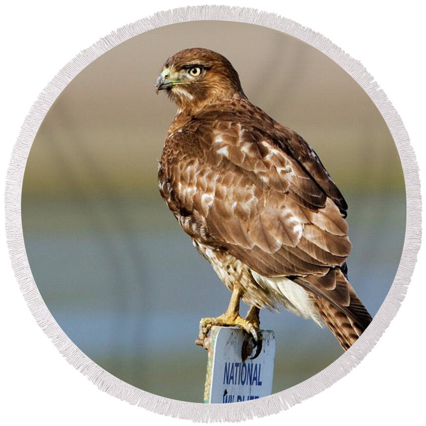 Hawk Round Beach Towel featuring the photograph Perched Red Tail Hawk by Randall Ingalls