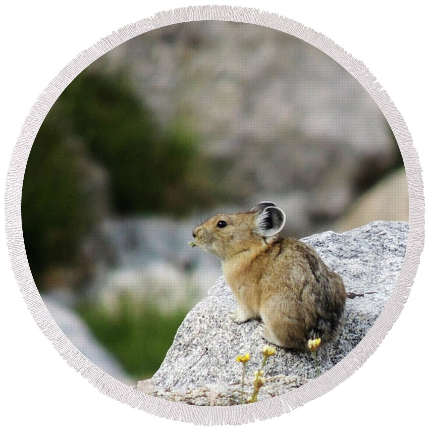 Animal Round Beach Towel featuring the photograph Pika Almost Done by Grant Bolei