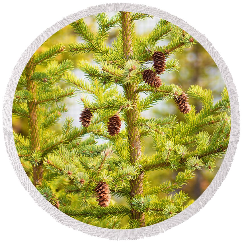Canada Round Beach Towel featuring the photograph Pine Cones by Anna Serebryanik