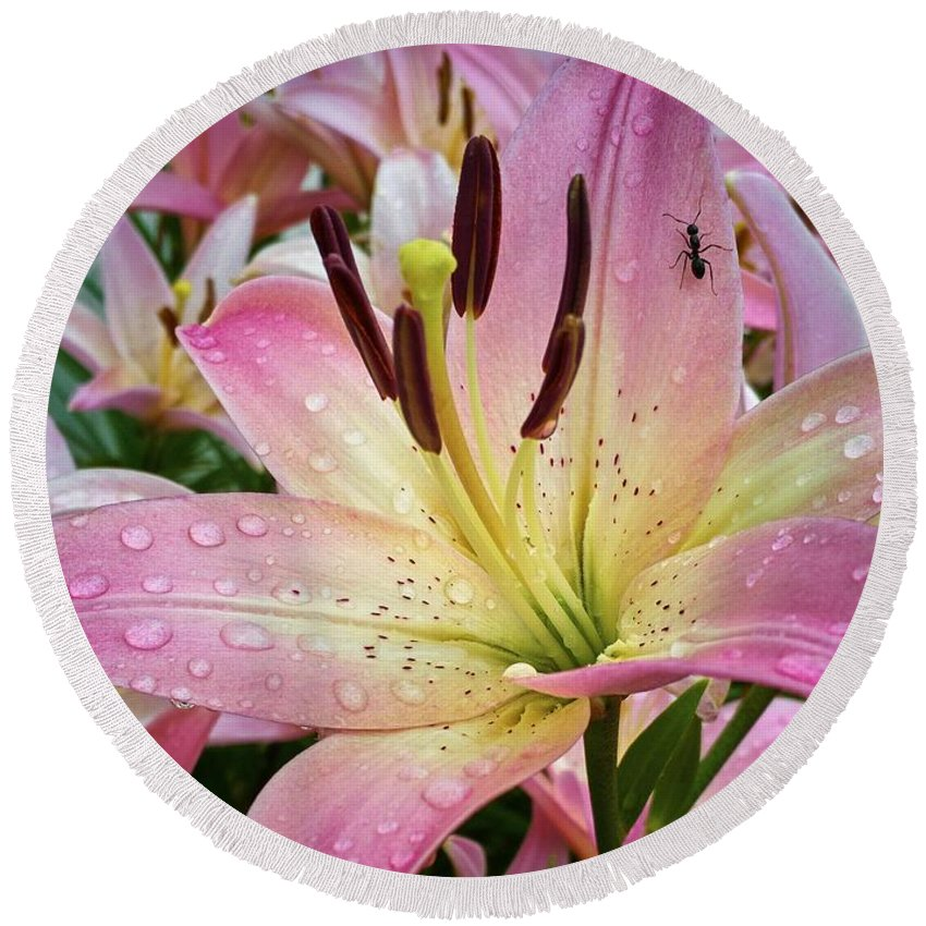 Pink Round Beach Towel featuring the photograph Pink And Yellow Mountain Lily by Graesen Arnoff