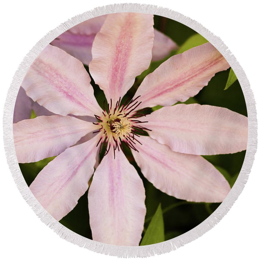 Clematis Round Beach Towel featuring the photograph Pink Clematis by Douglas Milligan